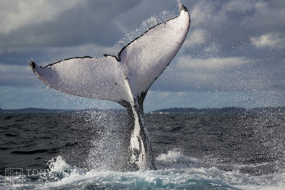 Humpback whale fluke in evening light, set against a backdrop of ominous skies and stormy seas