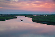 A brown pelican flies over the tidal salt marshes of the Cape Romain National Wildlife Refuge at sunrise near Charleston, South Carolina. The 66,287 acre National Wildlife Refuge encompass water impoundments, creeks, bays, emergent salt marsh and barrier islands most of which is only accessible by boat.