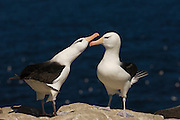 Black-browed Albatross (Thalassarche melanophrys) Courtship<br /> Steeple Jason Island. FALKLAND ISLANDS.<br /> They return to the same nest annually. The nest is a a solid pillar up to 50cm high of mud and guano with some grass and seaweed incorporated. A single egg is laid in October and juveniles fledge between mid March and April. They have a circumpolar range betweeen 65 S and 20 south and breed on Subantarctic Islands, Including South Georgia and islands off southern South America. In the Falklands they are also found on Beauchene, Saunders, West Point and New Island.<br /> The Jasons (Grand, Elephant and Steeple) are a chain of islands 40 miles (64km) north and west off West Falkland towards Patagonia. Steeple is 6 by 1 mile (10Km by 1.6km) in size. From the coast the land rises steeply to a rocky ridge running along the length. <br /> THIS ISLAND HAS THE LARGEST BLACK-BROWED COLONY IN THE WORLD WITH 100,000+ PAIRS. The island is owned by WCS (Wildlife Conservation Society) Falklands Conservation have an ongoing research project with the Albatross on Steeple Jason.<br /> LISTED AS ENDANGERED