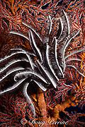 silver crinoid or feather star, Cenometra bella, perched on sea fan, Palau ( Belau ), Micronesia, Western Caroline Islands ( Western Pacific Ocean )