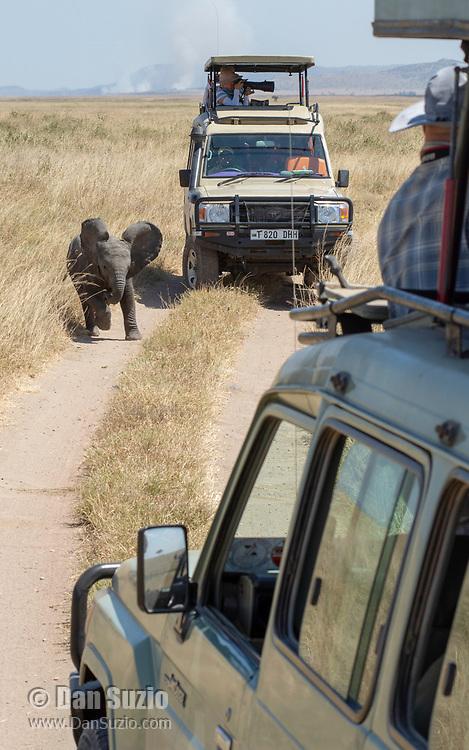 A baby African Elephant, Loxodonta africana, runs past safari vehicles in Serengeti National Park, Tanzania