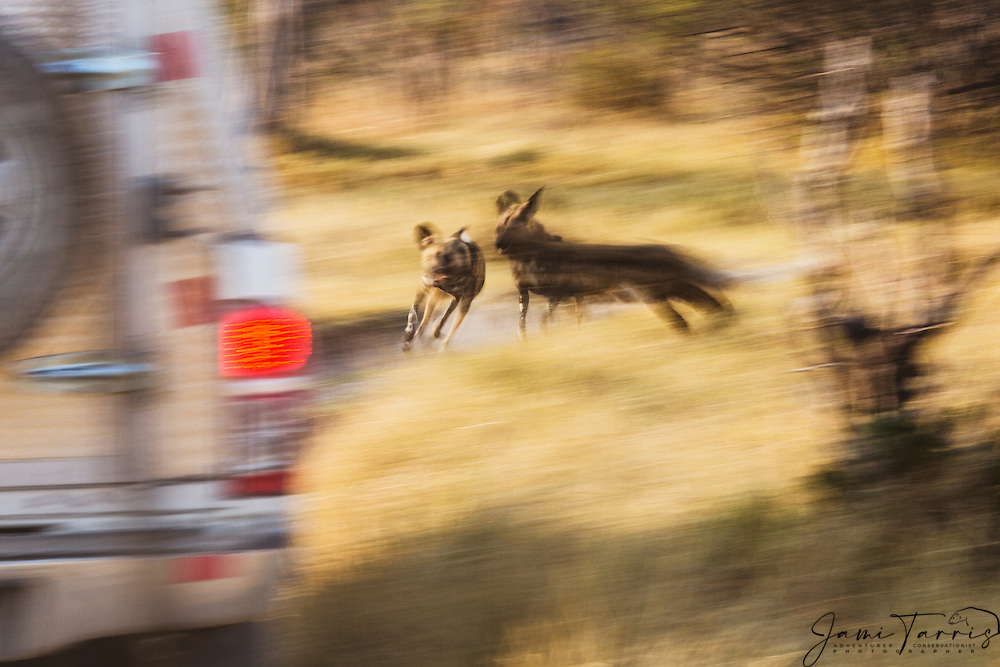 A motion blur of African Wild Dogs (Lycaon pictus) running past a vehicle during an early morning hunt, Moremi Game Reserve,Botswana, Africa