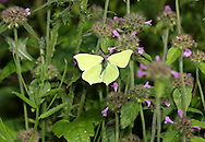 Brimstone Gonepteryx rhamni Wingspan 60mm. A colourful butterfly and a harbinger of spring. Adult has distinctive wings: rounded overall with pointed tips; those on the forewings are hooked. Male is brimstone-yellow; female is much paler and could be mistaken for a Large White in flight. Single-brooded: adults hatch in August, then hibernate and emerge on sunny spring days. Larva is green with pale lateral line; feeds on Buckthorn and Alder Buckthorn. Locally common in England and Wales.