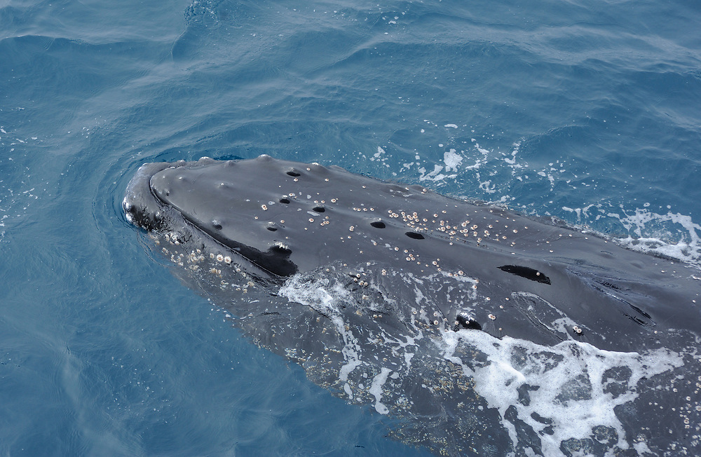 A Humpback whale (Megaptera novaeangliae) South Sandwich Islands, Southern Ocean. 26Feb16