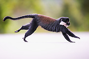 Montain Monkey captured as it is crossing a road in Rwanda, nearby Nyungwe | Montain Monkey fotografert i det den krysser en vei i Rwanda, i nærheten av Nyungwe.