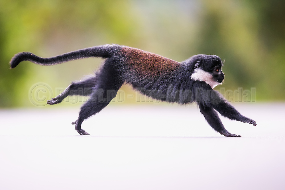 Montain Monkey captured as it is crossing a road in Rwanda, nearby Nyungwe | Montain Monkey fotografert i det den krysser en vei i Rwanda, i nærheten av Nyungwe.