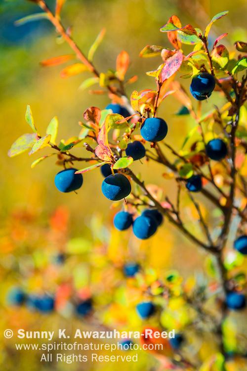 Close up of Lowbush Blueberry in fall color, Denali National Park & Preserve, Interior Alaska, Autumn. Vertical image.