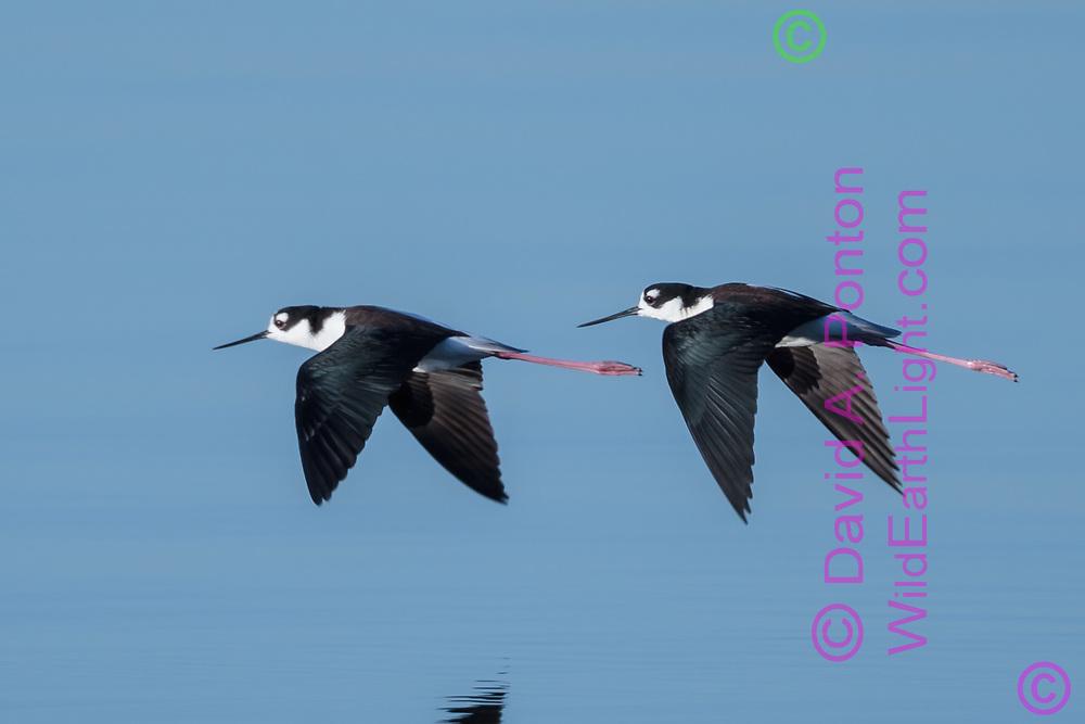 Pair of black-necked stilts in synchronized flight over water, © David A. Ponton