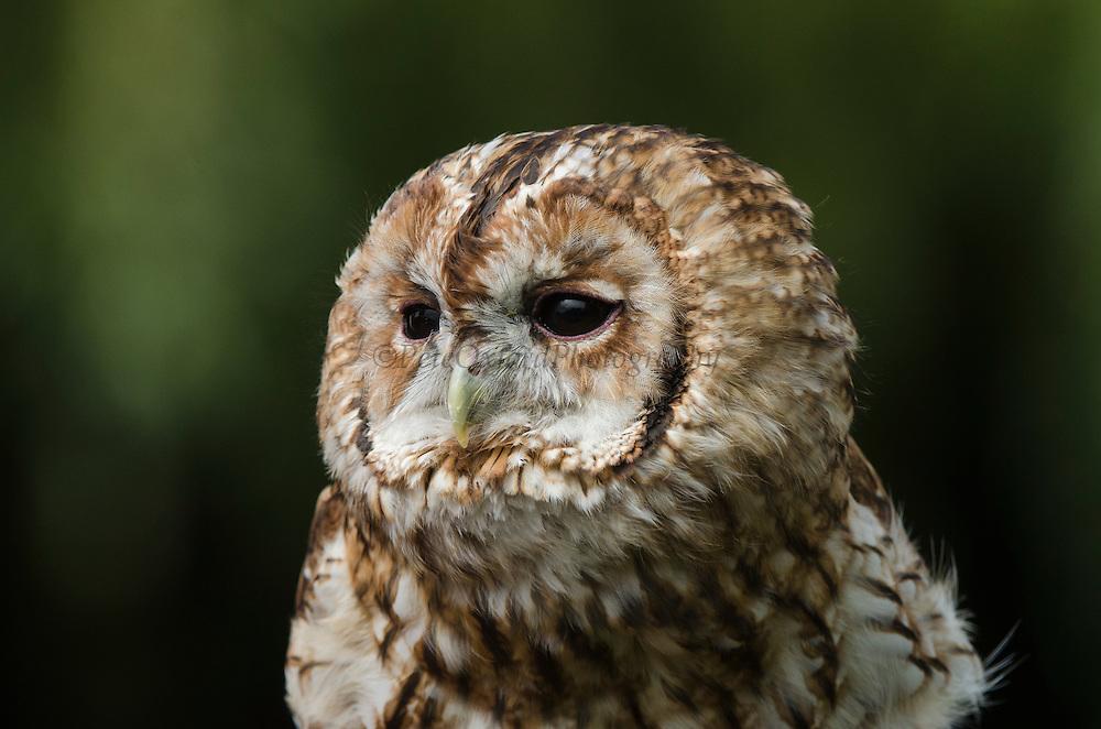 Tawny Owl (Strix aluco)<br /> Secret World Wildlife Rescue Center<br /> Somerset<br /> England<br /> UK<br /> Captive