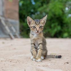 A stray kitten wanders around the property of Heifer recipient Sam Rey (55)