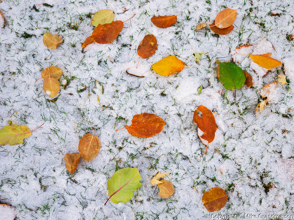First snow in autumn leaves<br />Winnipeg<br />Manitoba<br />Canada