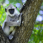 A juvenile tufted gray langur sitting in the nook of a tree. This is the Semnopithecus priam thersites subspecies, which is listed as Endangered on the IUCN Red List.