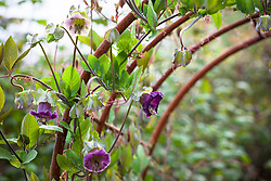 Cobaea scandens 'Purple' growing over metal arches. Cup and saucer vine