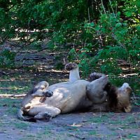 Africa, Botswana, Savute. Lion lazing on back in Savute.