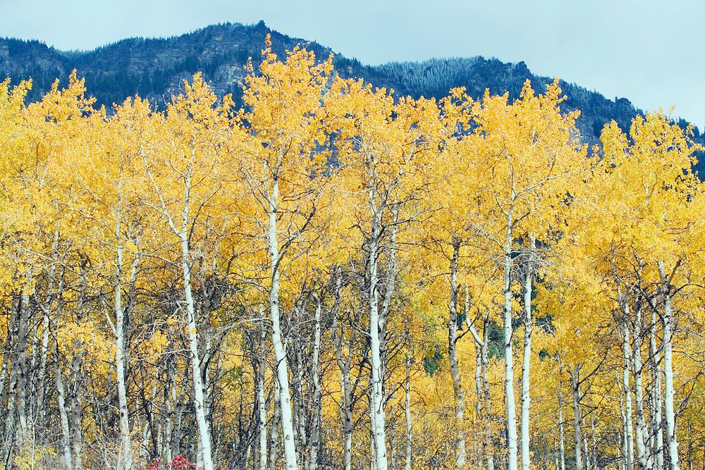 Aspen trees in fall color Washington Cascades USA.