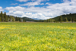 """""""Wildflowers at Sagehen Meadows 1"""" - These little yellow wildflowers were photographed at Sagehen Meadows near Truckee, California."""