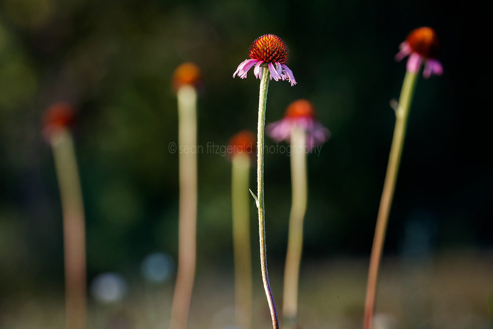 Purple coneflower (Echinacea angustifolia) on remnant prairie, Stella Rowan Prairie, Fort Worth, Texas USA.