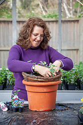 Planting up a hanging basket with bedding plants - trailing geraniums and bacopa