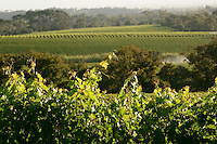 Cape Town, South Africa Grape Wineland landscape in Constantia valley, Cape Town, Western Cape, South Africa.