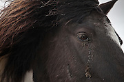 Icelandic horse in the volcanic ash from the erupting volcano in Grimsvötn, south coast Iceland