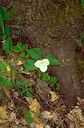 Spring wild flower trillium found in the Minnesota woods.  Minnesota USA