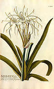 Coloured Copperplate engraving of a Pancratium plant from hortus nitidissimus by Christoph Jakob Trew (Nuremberg 1750-1792)