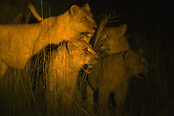 July 21, 2019 - Lions At Night (Credit Image: © Carson Ganci/Design Pics via ZUMA Wire)