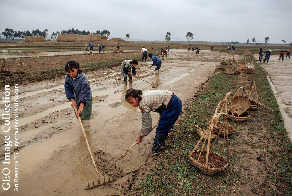 Chinese farmers preparing a paddy for rice farming.