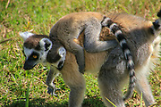 Ring tailed lemur (Lemur catta) Photographed in Vakona forest, Madagascar