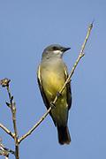 Cassin's Kingbird.(Tyrannus vociferans).San Joaquin Reserve, California