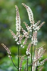 Actaea japonica compact