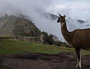 A llama grazes at Machu Picchu, Peru.