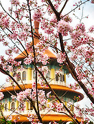 Cherry blossom, also known as sakura, in bloom outside a Chinese temple.
