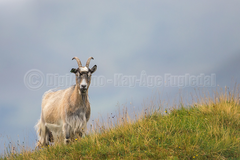 A goat in the grass, with blue backgroand | En geit i gresset med blå bakgrunn.