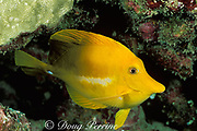 yellow tang in night colors, Zebrasoma flavescens,<br /> occurs Hawaii, USA to Japan but abundant only in Hawaii, USA<br /> Kona, Hawaii, USA ( Pacific )