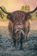 The Highland (Scottish Gaelic: Bò Ghàidhealach; Scots: Hielan coo) is a Scottish breed of rustic cattle. It originated in the Scottish Highlands and the Outer Hebrides islands with long horns and a long shaggy coat. It is a hardy breed.