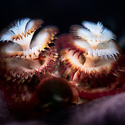These feathery structures are modified<br /> prostomial palps (mouth appendages) of Spirobranchus giganteus  polychaete worms. These spiral radioles are lined with cilia and are used by the worm for feeding and breathing. The circular structure in the foreground is the operculum, which the worm uses to seal its burrow.
