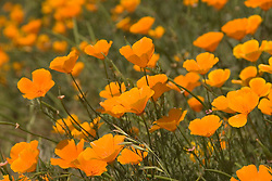 Chile: Poppy wildflowers in the Andes east of Santiago..Photo #: ch485-32972.Photo copyright Lee Foster, 510-549-2202, www.fostertravel.com, lee@fostertravel.com.