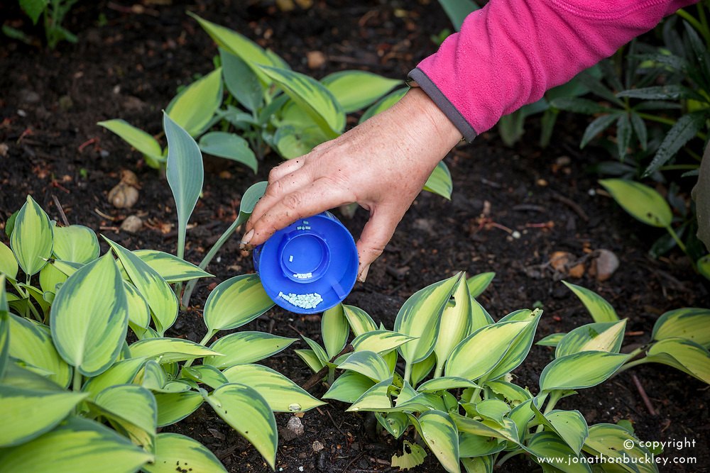 Protecting hosta plants from slugs and snails in early stages of growth using finely scattered pellets