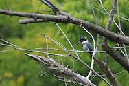This Belted Kingfisher is perched in a tree along a small stream in Ithaca, NY.