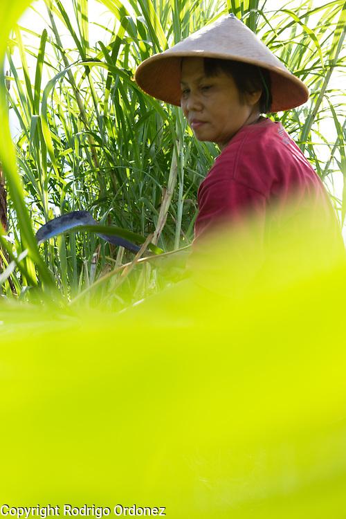 Suparjiyem, 49, cuts grass at a plot of land she rents near her home in Wareng, Wonosari subdistrict, Gunung Kidul district, Yogyakarta Special Region, Indonesia.