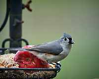 Tufted Titmouse at a birdfeeder. Image taken with a Nikon D5 camera and 600 mm f/4 VR lens (ISO 1600, 600 mm, f/5.6, 1/250 sec).