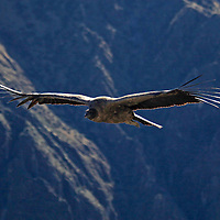 South America, Peru, Colca Canyon. Andean Condor in flight.
