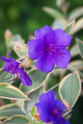 Tibouchina urvilleana variegated