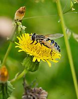 HALFWEG - Gele halve maan zweefvlieg. insecten op de golfbaan , Amsterdamse Golf Club. (AGC)  . Insecteninventarisatie  COPYRIGHT KOEN SUYK