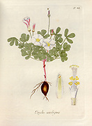 Woodsorrel (Oxalis ambigua). Illustration from 'Oxalis Monographia iconibus illustrata' by Nikolaus Joseph Jacquin (1797-1798). published 1794