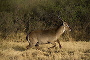 Waterbuck (Kobus ellipsiprymnus) Male<br /> Moremi Game Reserve, Okavango Delta<br /> BOTSWANA<br /> RANGE: Sub-Saharan Africa