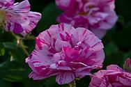 Rosa gallica var officinalis 'Versicolour' (Rosa Mundi) a striped pink rose at Chiswick House Gardens, Chiswick House, Chiswick, London, UK