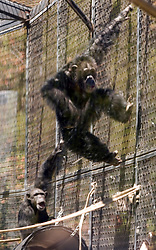 Chimpanzees chase each other around their enclosure at the Oakland Zoo, Tuesday, Aug. 24, 2010 in Oakland, Calif. (D. Ross Cameron/Staff)