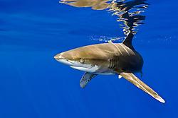 oceanic whitetip shark, Carcharhinus longimanus, investigating bait cage, note nictiating membrane, off Big Island, Hawaii, Pacific Ocean